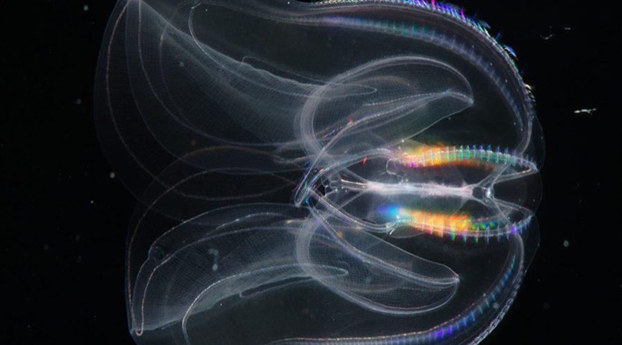 Новые виды гребневиков выявили ученые благодаря генетическим исследованиям