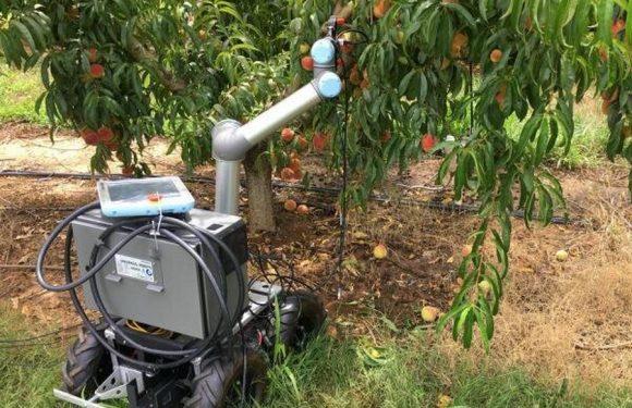 Инженеры разработали уникального робота для ухода за персиковыми деревьями